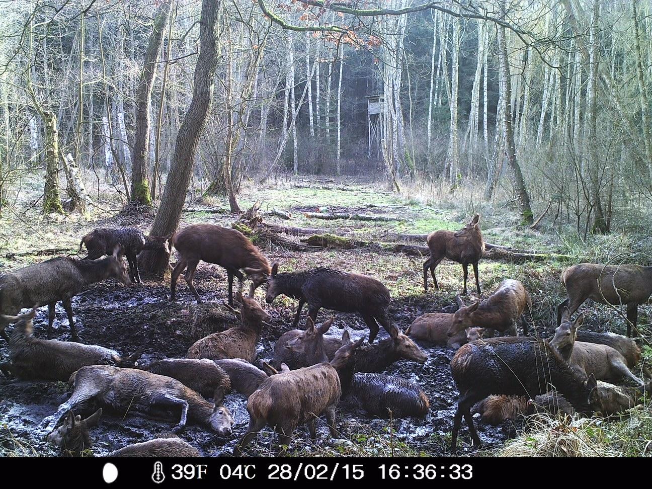 Wildtierkamera: Rehe